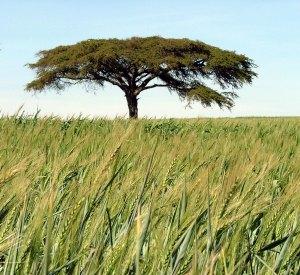 acacia - wheat